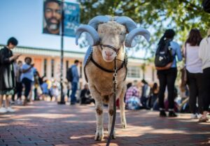 Rameses, a real ram with blue painted horns, stands in the Pit with students.
